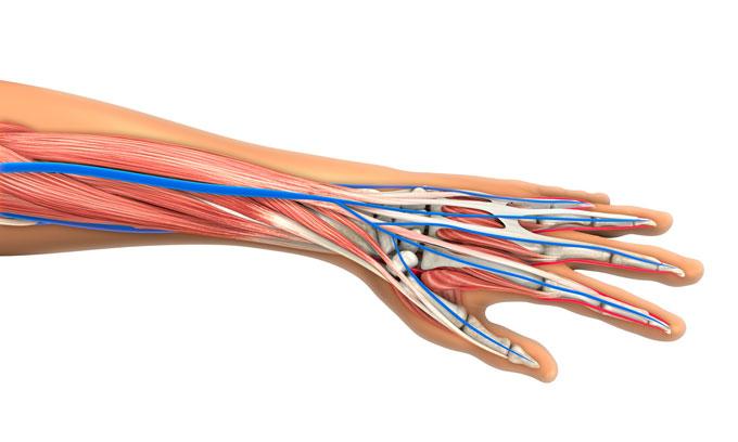 tendon_wrist